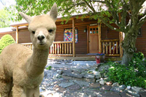 Turkey creek alpacas llc in milford indiana for Alpaca view farm cuisine