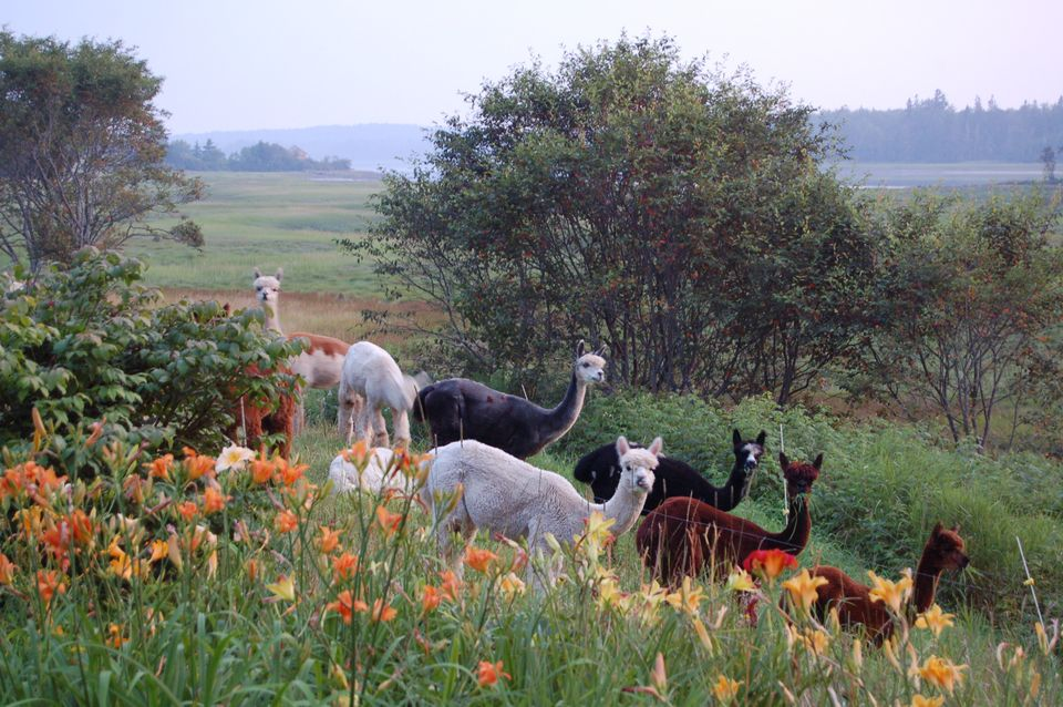 Blackberry lane alpacas in harrington maine for Alpaca view farm cuisine